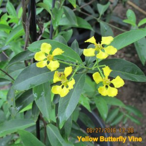 Yellow Butterfly Vine bloom close up