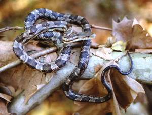 Texas Rat Snake from the Internet