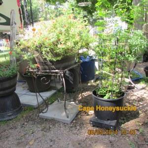 Cape Honeysuckle August 2014