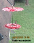 Hummingbird outside my kitchen window (1)