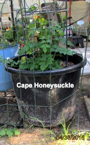 Cape Honeysuckle in April 2015