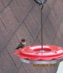 Hummingbird outside my kitchen window (2)