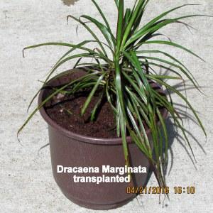 Dracaena Marginata transplante