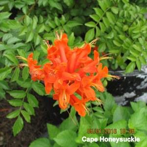 Cape Honeysuckle bloom May 2016
