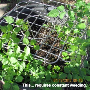 Requires constant weeding