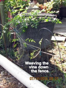 Weaving vine down fence