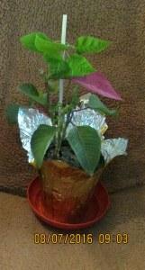 Poinsettia without flash