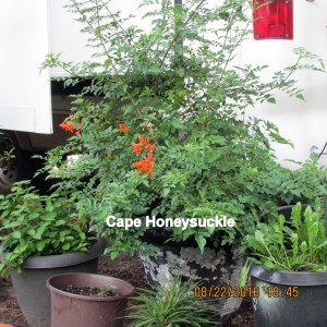 Cape Honeysuckle August 2016