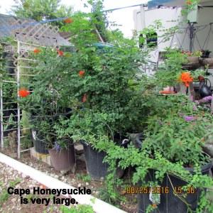 Cape Honeysuckle August 2016