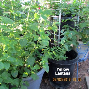 Yellow Lantana in place