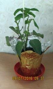 Poinsettia in early September