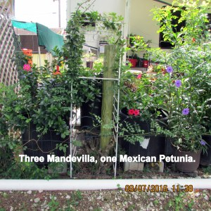Three Mandevilla, one Mexican Petunia
