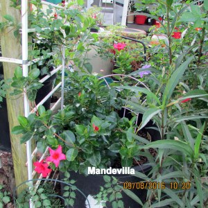 Close up of nurtured Mandevilla
