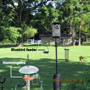 Hummingbird plus Bluebird feeder