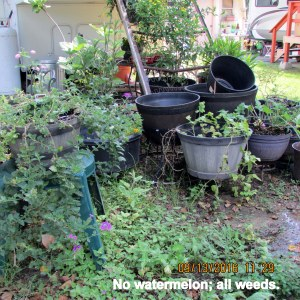 No watermelon, all weeds