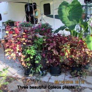 Three Coleus plants