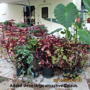 Early morning view of Coleus