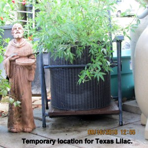 Temporary location for Texas Lilac