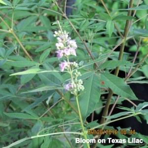 Texas Lilac bloom