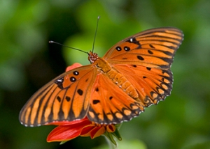 butterfly-similar-to-one-lorraine-photographed