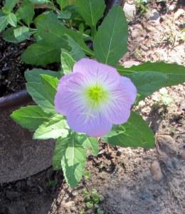 Unknown volunteer flower close up