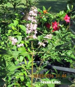 Texas Lilac (1)