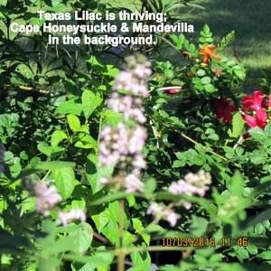 Texas Lilac (2)