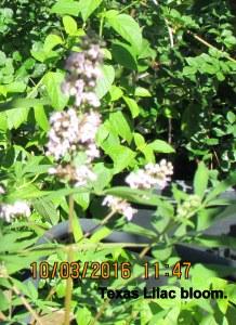 Texas Lilac (3)