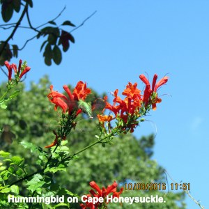 Hummingbird on Cape Honeysuckle (2)
