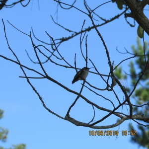 Hummingbird on tree limb (1)