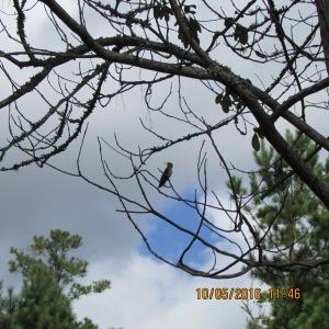 Hummingbird on tree limb (2)