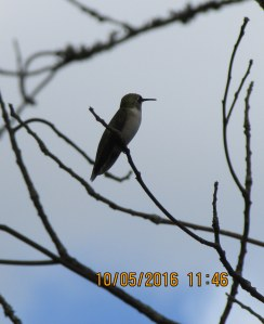 Hummingbird on tree limb (3)