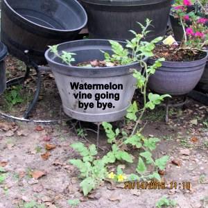 Watermelon vine goes into the trash