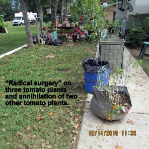 Radical surgery on three tomato plants