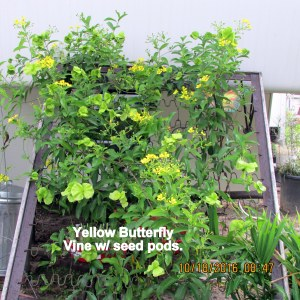 Yellow Butterfly seed pods