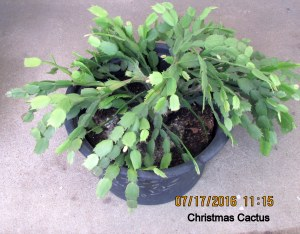 Christmas Cactus in July (1)