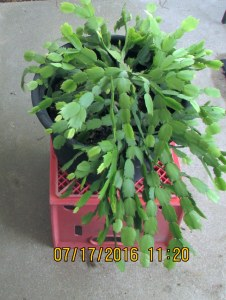Christmas Cactus in July (2)