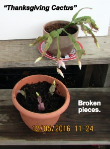 Broken pieces of Thanksgiving Cactus
