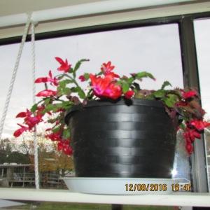 Hazel's Christmas Cactus (1)