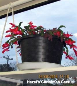 Hazel's Christmas Cactus (2)
