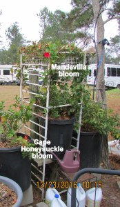 Cape Honeysuckle and Mandevilla blooms