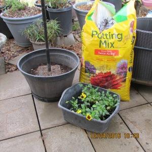 Preparing to plant pansies