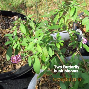 Two blooms on Butterfly bush