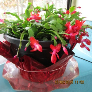 Christmas Cactus in December 2015