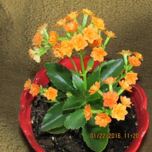 Kalanchoe on Jan 22, 2016