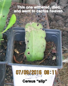 Cereus slip died
