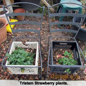 Strawberry plants outdoors