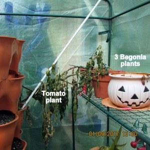 Tomato and Begonia