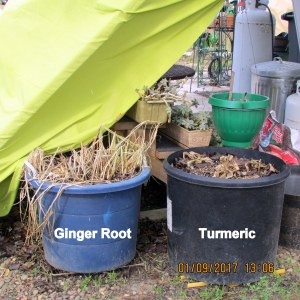 Ginger Root and Turmeric