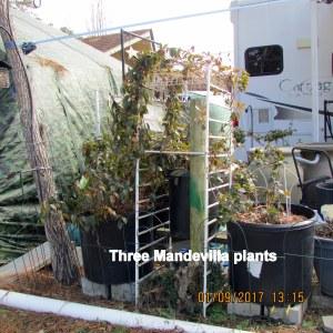 Three Mandevilla plants